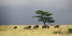 Somewhere in Africa (memories-in-motion) Tags: morning africa animals landscape buffalo herd grass tree color mood light canon eos group team nature wild wilderness southafrica ef70300 5dmarkiv