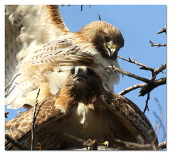 Wildlife Gets No Privacy (Redtail10025) Tags: redtailedhawk hawks pair male female mating central park nyc wildlife nature raptors spring