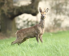 Roe Buck on the alert (glostopcat) Tags: roebuck roedeer deer buck animal mammal wildlife glos spring april