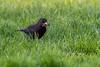 Mouthful (iantaylor19) Tags: british birds black bird canon 80d sigma 150600 warwickshire wildlife