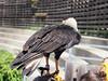 P4220243 (Soken9) Tags: animal aigle oiseau