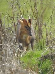 Muntjac Deer (Dave G8HPV) Tags: brandon marsh warwickshire muntjac deer