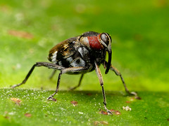 Hoplocopturus sp., Curculionidae (Eerika Schulz) Tags: hoplocopturus curculionidae käfer beetle puyo ecuador eerika schulz