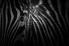 confused (DaveGassmann) Tags: zebra bw blackandwhite black animal eye auge blick view streifen tier dunkel schwarz weiss