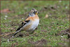 Brambling (image 2 of 2) (Full Moon Images) Tags: rspb sandy lodge thelodge wildlife nature reserve bedfordshire bird brambling
