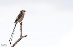Streamer-tailed Tyrant (Gubernetes yetapa)