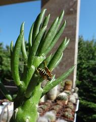 Bee on Austrocylindropuntia subulata (armen.cactus) Tags: cactus succulent bee insect austrocylindropuntia opuntia subulata evesneedle
