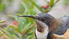 eastern spinebill (Acanthorhynchus tenuirostris)-7004 (rawshorty) Tags: rawshorty birds canberra australia act symonston