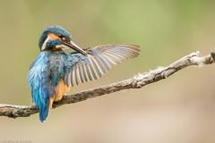 Martin-pêcheur d'Europe Alcedo atthis - Common Kingfisher (Julien Ruiz) Tags: martinpêcheur deurope alcedo atthis common kingfisher