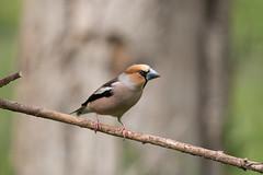 Grosbec casse-noyaux (eric.benetti) Tags: ariège coccothraustescoccothraustes domainedesoiseaux fringilliade grosbeccassenoyaux mazères oiseau passériformes