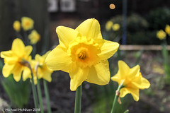 The Flowers of Spring (Mike McNiven) Tags: flowers nature outdoors spring manchester didsbury fletchermoss fletcher moss