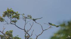 Amazones (alain_did) Tags: amazones perroquets oiseaux tropiques tropicale guyane forêtamazonienne rainforest nature naturallight naturelover naturepics