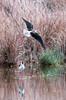 échasse blanche (Ruben VERA Photography) Tags: échasse blanche himantopus bird flying oiseau