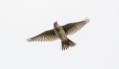 Sandwich Bay Skylark flying
