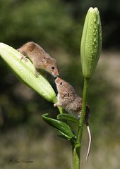 Love on a Lily (maddiver58) Tags: lily harvest mice mammal dean mason wildlife nikon d500
