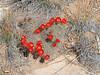 CAE012084a (jerryoldenettel) Tags: 180415 2018 cactaceae caryophyllales coreeudicots echinocereus echinocereuscoccineus nm sanysidro sandovalco scarletbeehivecactus scarlethedgehog wildflower cactus flower hedgehog
