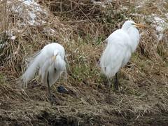 DSCN7555 white egret (starc283) Tags: starc283 bird birding birds flickr flicker outdoors outdoor nature naturesfinest naturewatcher wildlife egret egrets
