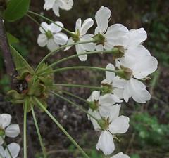 Prunus avium (Wild Cherry), flower umbel, Woodside, Hatfield, Herts, 21.4.18 (respect_all_plants) Tags: wildcherry gean prunusavium wildhill woodside hatfield herts hertfordshire wildflowers trees