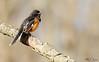 Eastern Towhee (BirdFancier01) Tags: nature wildlife bird songbird migration spring bokeh habitat natural branch composition towhee eastern