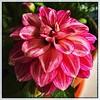 Porch flowers. #Takoma #dc #dclife #washingtondc #iphone #iPhonemacro #macro  #flower #flowersofinstagram (Kindle Girl) Tags: iphone takoma dc dclife washingtondc iphonemacro macro flower flowersofinstagram