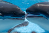 Kisses (mylesfox) Tags: killer whales kissing water seaworld orlando tank show