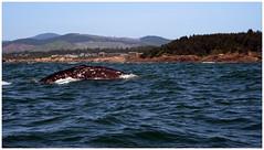 1st time (scott branine) Tags: gray whale oregon pacific ocean pentax dfa 28105 zodiac watching