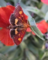 Mint Moth (seanwalsh4) Tags: mintmoth thymemoth pyraustapurpuralis 8mm tiny small moth nature 7dwf wednesdaysmacroorcloseup delightful flutter delicate happy nice seanwalsh bristol garden canon photography
