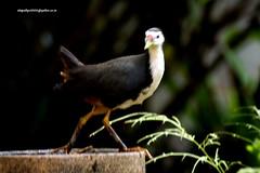 IMG_5573 White-breasted Waterhen (Amaurornis phoenicurus) (vlupadya) Tags: greatnature aves fauna indianbirds whitebreasted waterhen amaurornis kundapura karnataka
