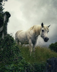 Expectation (Vratsagirl) Tags: horse animal outdoors grass galway ireland summer vratsagirl anniejapaudphotography