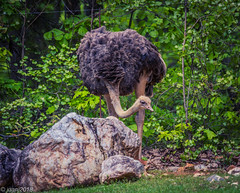 Ostrich (JuanJ) Tags: nikon d850 lightroom art bokeh nature lens light landscape white green red black pink sky people portrait location architecture building city iphone iphoneography square squareformat instagramapp shot awesome supershot beauty cute new flickr amazing photo photograph fav favorite favs picture me explore interestingness wedding party family travel friend friends vacation beach zoo northcarolina usa 2018 april ashboro animals animal