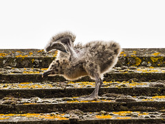 Broadstairs seagull chick of 2018 (philbarnes4) Tags: seagull seagullchicks broadstairs roof thanet kent england philbarnes dslr nature wildlife creation bird feathers wings fledgling nikond5500