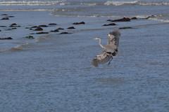 IMG_2470 (armadil) Tags: mavericks beach beaches bird birds flying californiabeaches heron greatblueheron blueheron