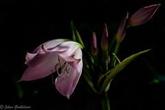 Crinum lily (Johan Grobbelaar) Tags: crinumlily flora natallily