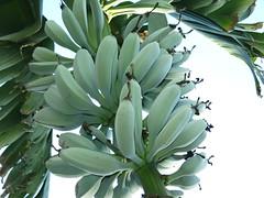 Musa Blue Java aka Ice Cream Fruit! (meizzwang) Tags: musa ice cream blue java cold hardy banana outdoors northern california bay area cultivation