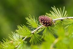Larch Cone (Karen_Chappell) Tags: macro nature green brown larch tamarack juniper needles bokeh canonef100mmf28usmmacro spring nfld newfoundland canada atlanticcanada avalonpeninsula branch