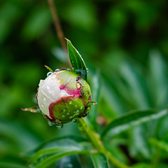 (NaturaRAW) Tags: 2018 ants drops fujifilmfujinonxf1855mmf2 fujifilmxe3 nature peony water