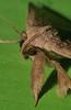 xtra long horn wooly leg moth Simplicia erebina Herminiinae Erebidae Airlie Beach rainforest P1350277 (Steve & Alison1) Tags: xtra long horn wooly leg moth airlie beach rainforest simplicia erebina herminiinae erebidae