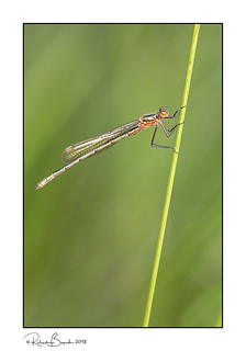 Emerald Damselfly on a stalk of grass