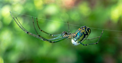 Orchard Spider (tisatruett) Tags: arachnid spider orchardspider wildlife nature beauty naturalbeauty naturalwonder bokeh macro