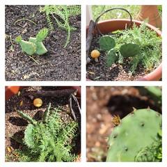 Prickly Pear Cactus, Opuntia humifusa (Moon Rhythm) Tags: 38075h8 cactus pricklypear found foundgrowing easternshore easternshoremaryland eastcoast native opuntiahumifusa eastcoastcactus nativeperennial perennial winterhardy ridgely rural