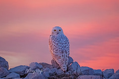 Snowy owl in the reflection of purple sunset (Ming H Yao) Tags: snowyowl sunset