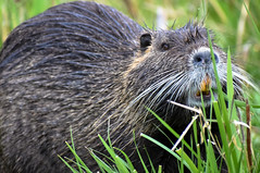 Pretty as a Picture (Noble Bunny) Tags: nutria coypu aquatic rodent ridgefield national wildlife refuge nature reserve washinton teeth tooth state buck mammal