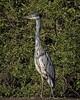 The Heron (MrBlueSky*) Tags: heron greyheron bird nature wildlife outdoor colour animal kewgardens royalbotanicgardens london pentax pentaxart pentaxlife pentaxk1 pentaxawards pentaxflickraward aficionados