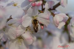 Macro3 (SimoneTS) Tags: macro insetti ape fiori giardini gorizia goriziaitalia giardiniviatori azalee margherite prataiole bombo