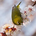 梅とメジロ / Plum and White-eye