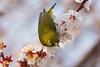 梅とメジロ / Plum and White-eye (kimtetsu) Tags: 名古屋市 愛知県 日本 jp 梅 plum 鳥 bird メジロ whiteeye 春 spring 野生生物 wildlife