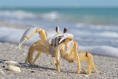 Google eye, google you...Atlantic Ghost Crab (beyondhue) Tags: atlantic ghost crab closeup beach sand beyondhue southwest florida crustacean