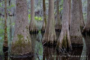 Bald Cypress and Tupelo Gum Trees, Santee S.P., South Carolina