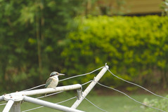 Kingfisher looking over the view (eomer1) Tags: papuanewguinea bird mybackyard blue