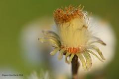 klein hoefblad (Agnes Van Parijs) Tags: kleinhoefblad macro flower bloem